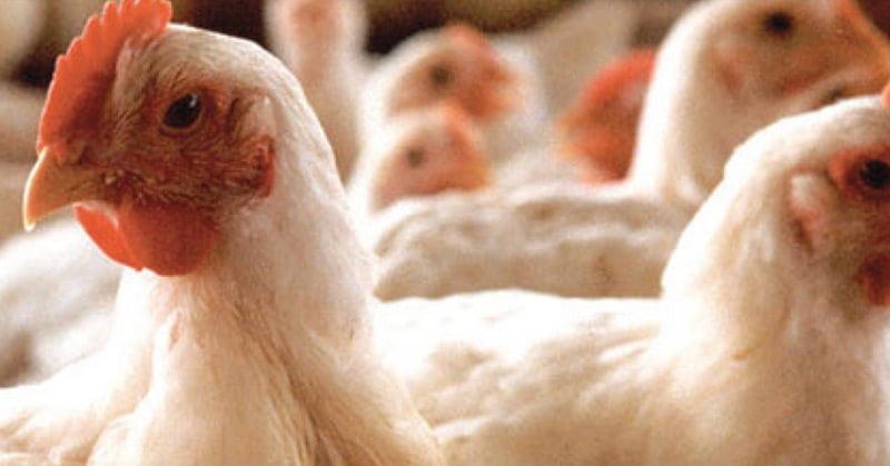 Avicultura Saudável com Probióticos - Biocamp