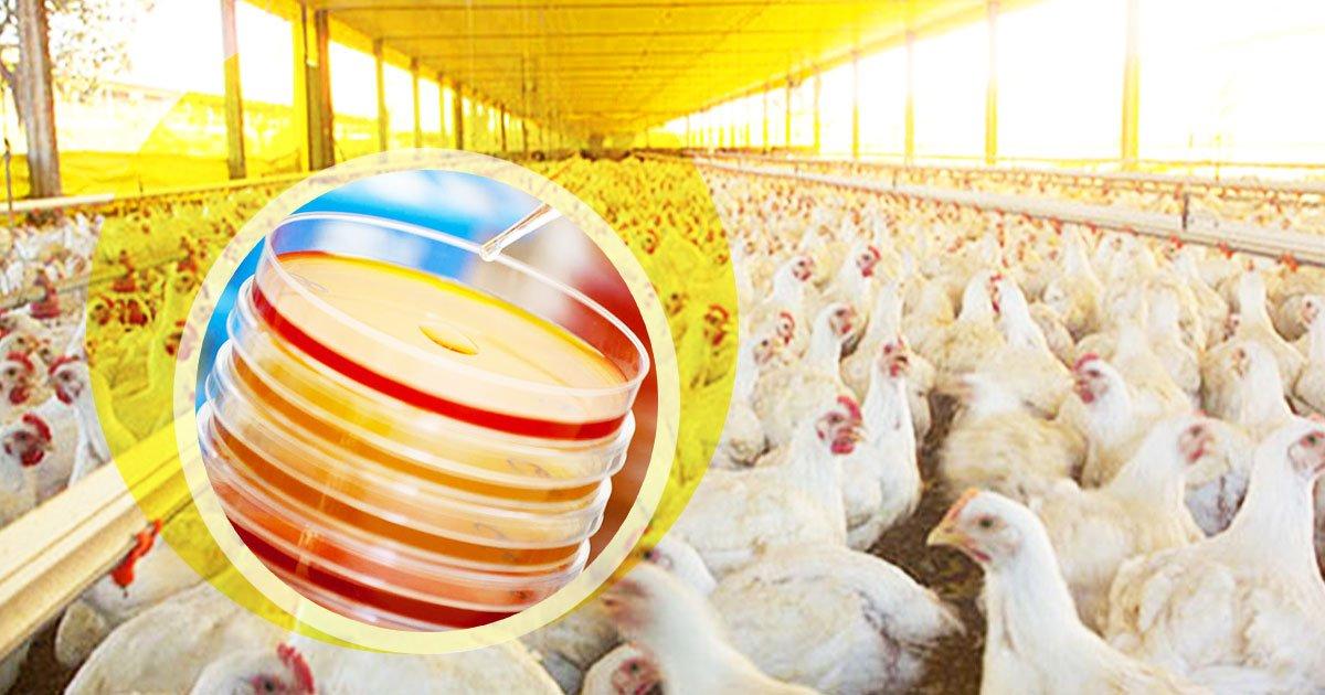 Probióticos y vacunas en la avicultura: qué criterios hay que considerar antes de elegir un proveedor