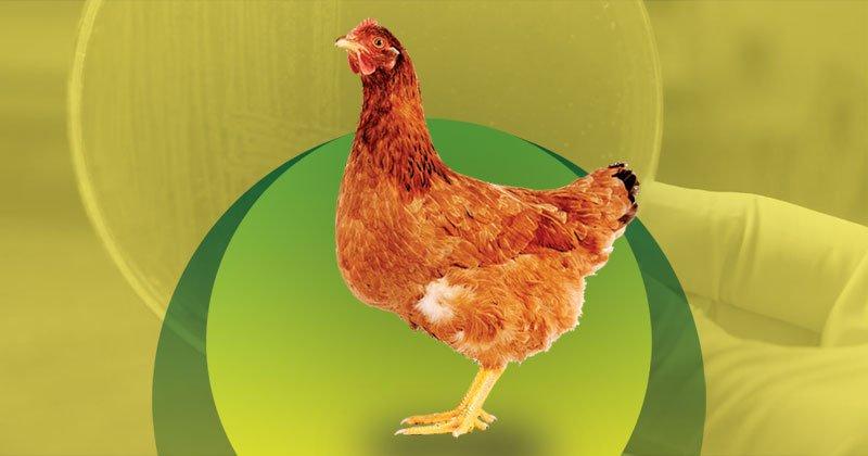 Tifoidea aviar: conozca más sobre esa enfermedad que puede ser devastadora para las granjas