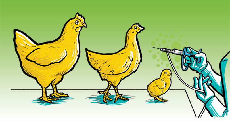 Vacunación: medida eficaz contra la tifoidea aviar