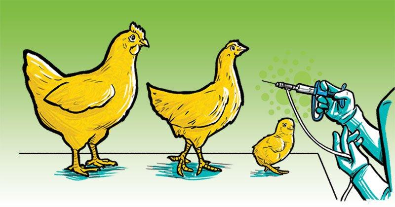 Vacinação: medida eficaz contra o tifo aviário