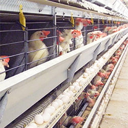 White Egg layer hens are more resistant
