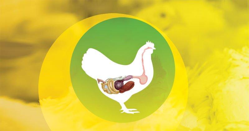 Conversão Alimentar e Integridade Intestinal das aves