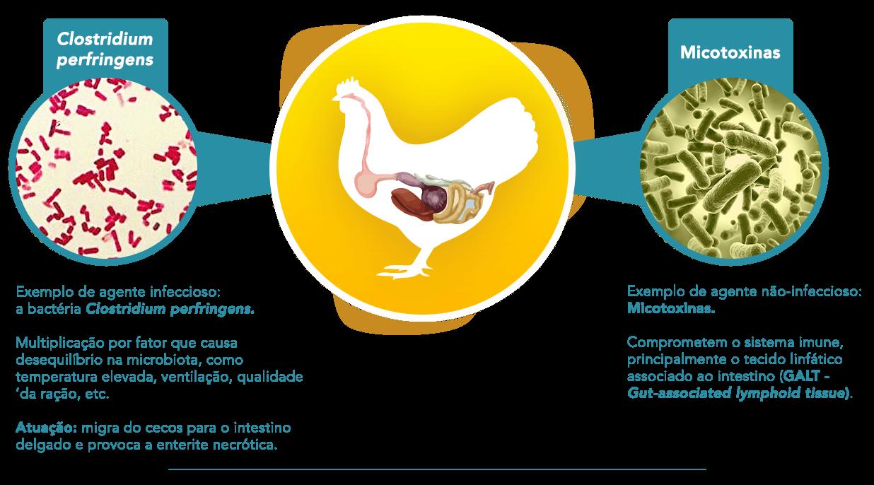 Fatores que colocam em risco a integridade intestinal das aves