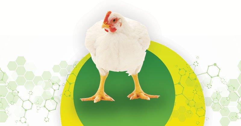 3 pontos a considerar ao escolher um probiótico para aves