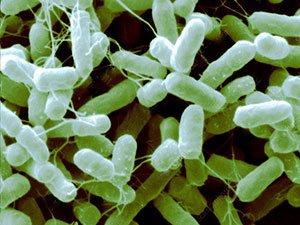 The bacteria Salmonella Heidelberg
