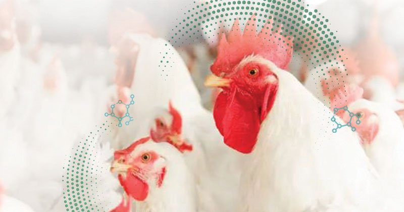 Preeclosión: puntos críticos que afectan a la calidad de los pollitos de un día