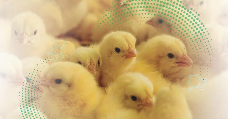 Pos-eclosión: puntos críticos que afectan el desarrollo inicial de las aves